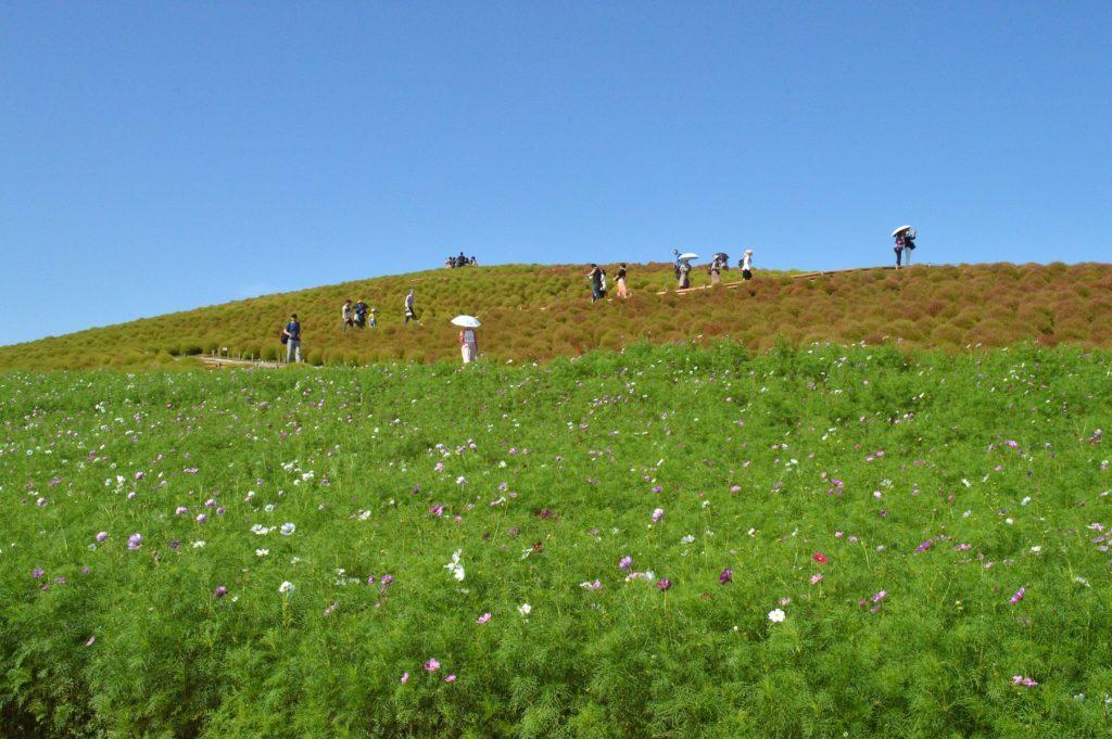 茨城県 ひたち海浜公園 今日は2019年の10月05日のコキア02