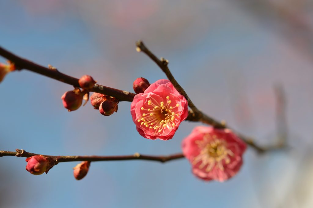 茨城県水戸市 藪そば 帰り道 偕楽園の梅の花