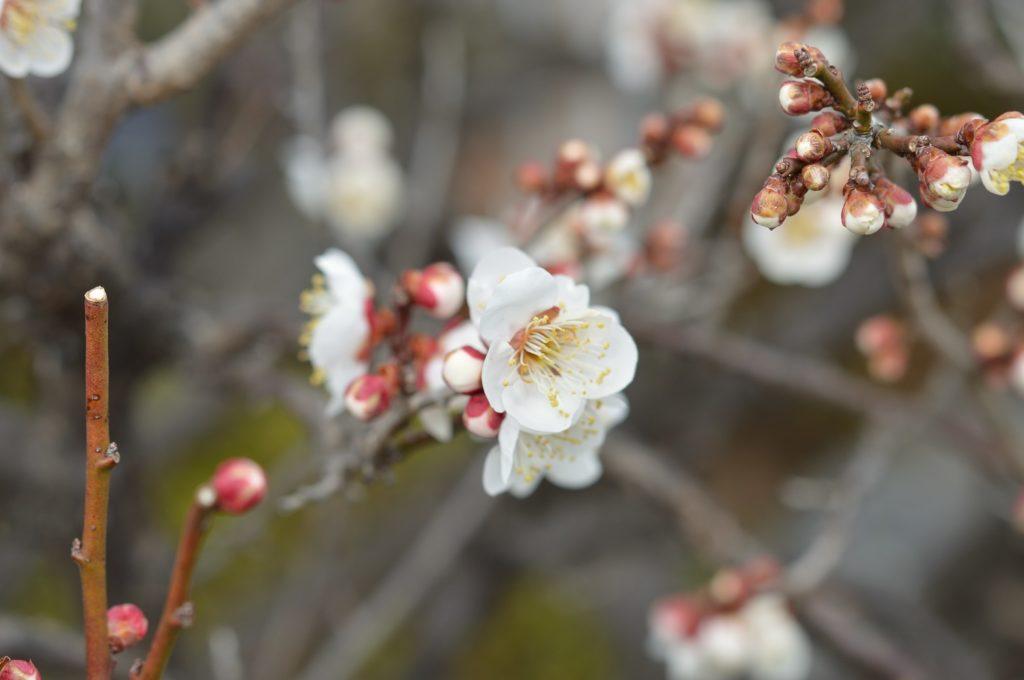 003_茨城県ひたちなか市 グールマンド 梅の木