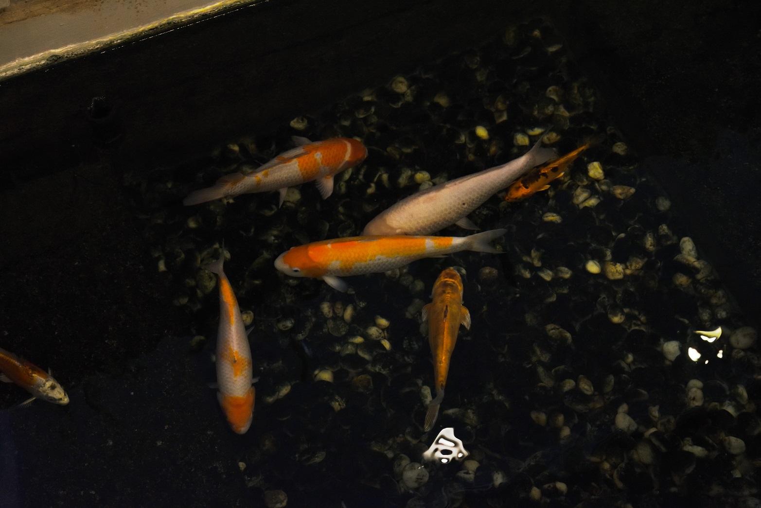 ウィスタリア 鯉